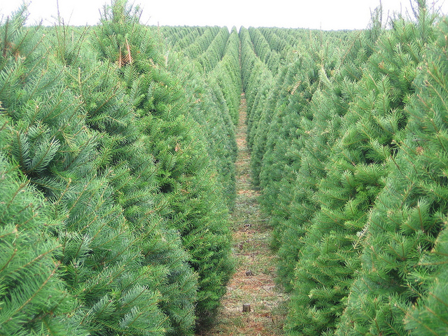 Your Christmas Tree's Carbon Footprint | Sightline Institute